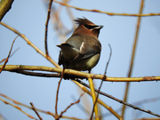 12th Feb 2021 - Cedar Waxwing, continued...