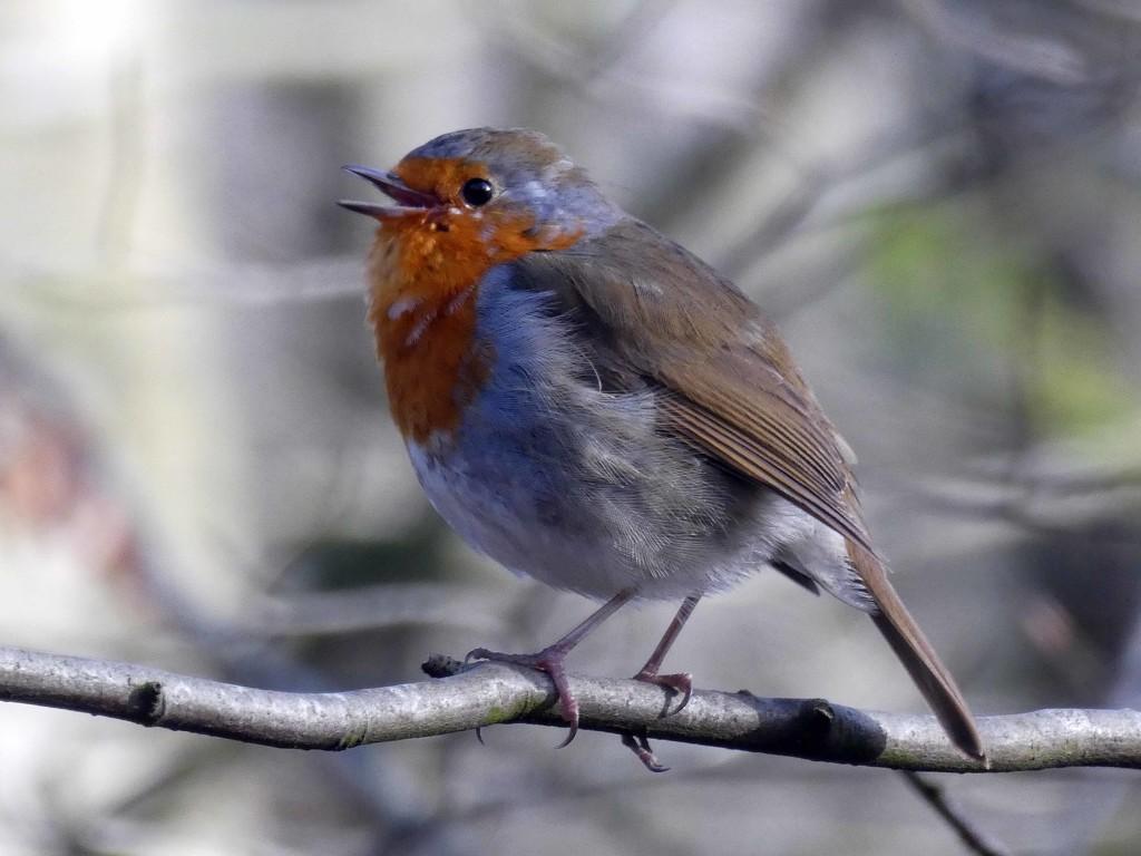 Robin Redbreast by cmp