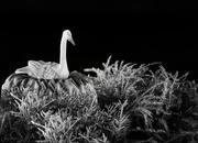 12th Feb 2021 - Tundra Swan
