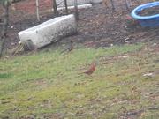 12th Feb 2021 - Robin and Cardinal in Backyard