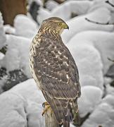 12th Feb 2021 - Coopers Hawk