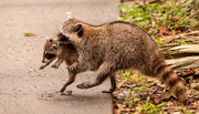 12th Feb 2021 - Mommy Raccoon Moving the Baby to a New Location!