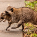 Mommy Raccoon Moving the Baby to a New Location! by rickster549