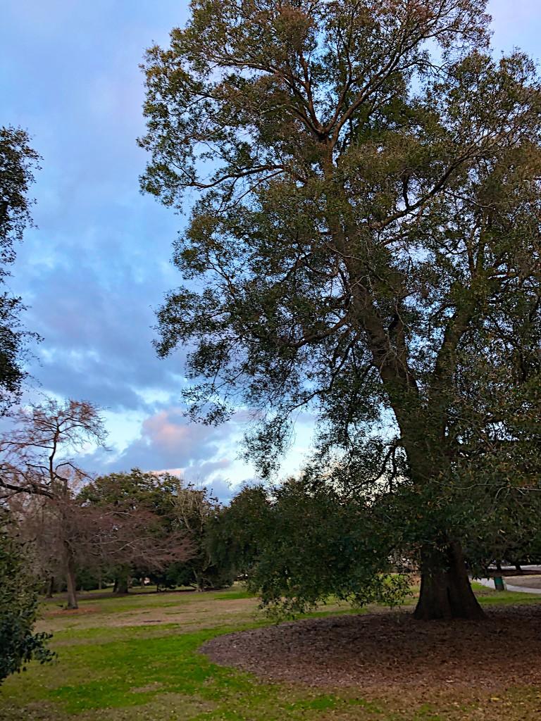 Hampton Park oak by congaree
