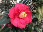 13th Feb 2021 - Camellia