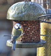 13th Feb 2021 - Blue Tit