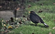 13th Feb 2021 - I always know this blackbird by his stripes