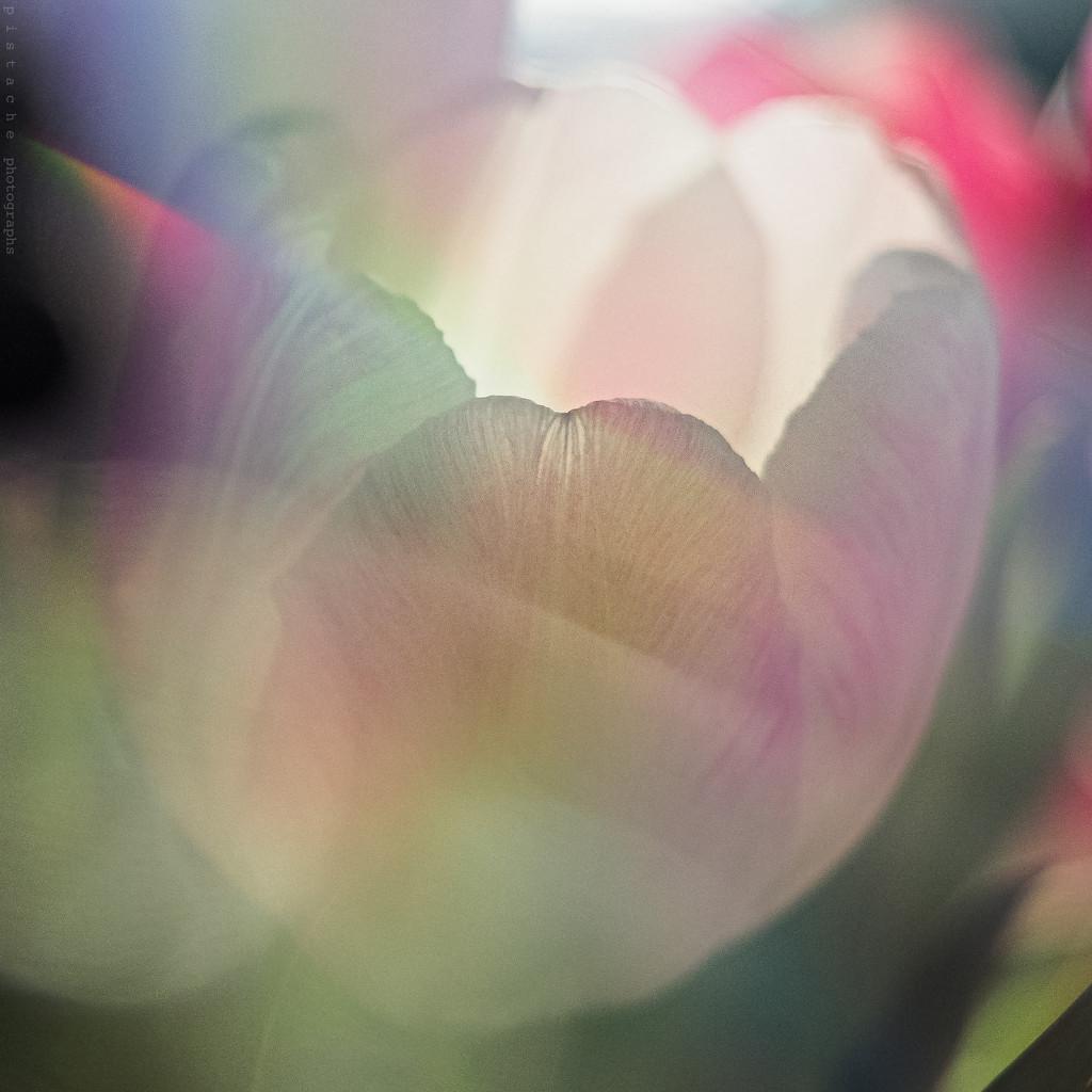 tulipissimo by pistache