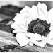 Happy sunflower by joansmor