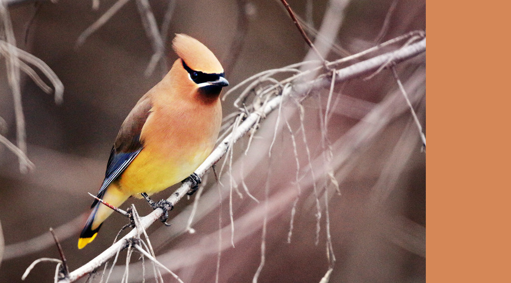 waxwing by gq