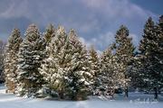 13th Feb 2021 - Snowy trees