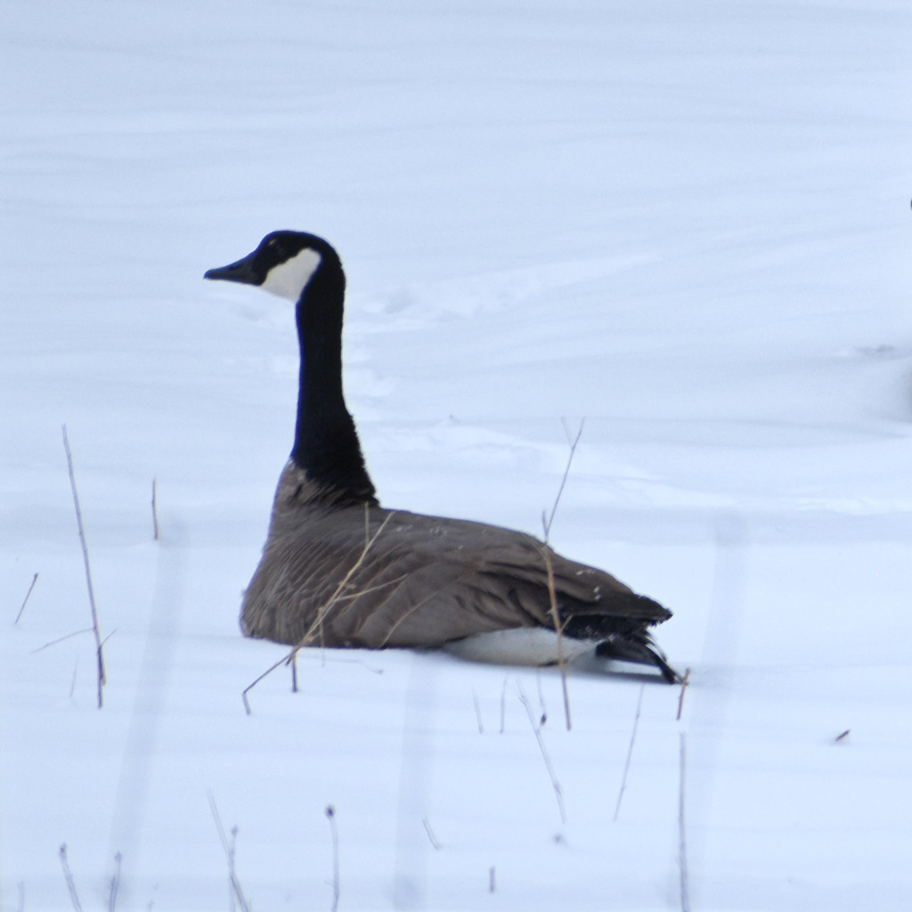 Canadian Goose by bjywamer