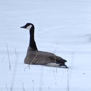 13th Feb 2021 - Canadian Goose