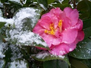 14th Feb 2021 - Camellia in the snow...
