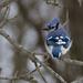 Blue Jay by cwbill