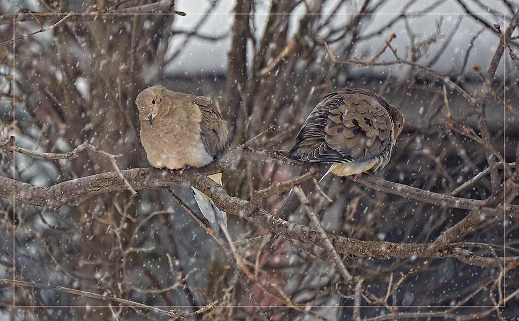 Doves by gardencat