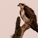 Osprey, Watching Over Things! by rickster549