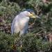 Black-crowned Night Heron by nicoleweg