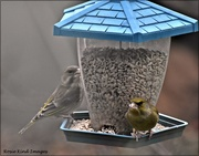 14th Feb 2021 - Mr and Mrs Greenfinch