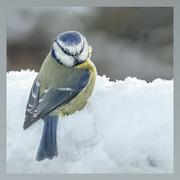 14th Feb 2021 - Blue Tit in Snow
