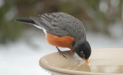 13th Feb 2021 - American Robin drinking