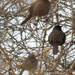 Common grackles and a brown-headed cowbird
