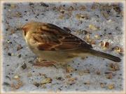 15th Feb 2021 - sparrow