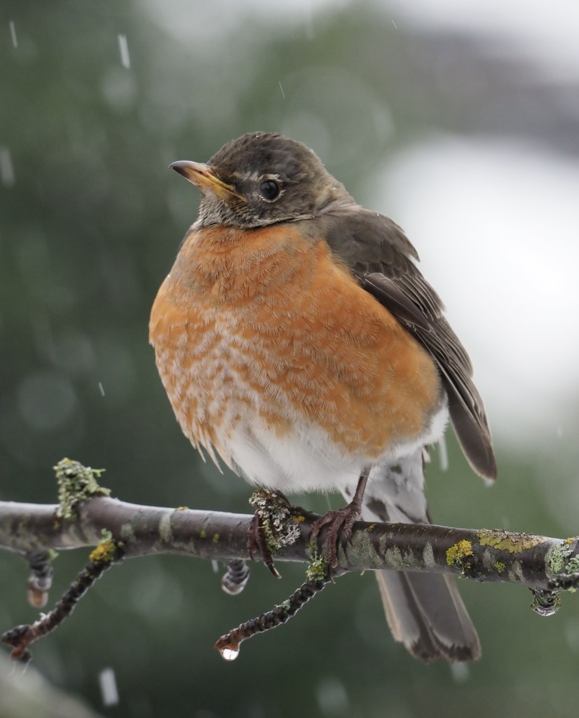 Robin in the Snow by debgasc