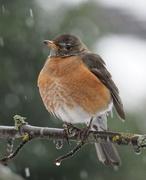 14th Feb 2021 - Robin in the Snow