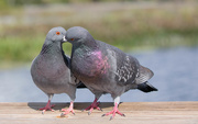14th Feb 2021 - Rock Pigeon love