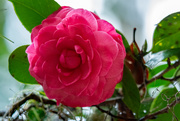 14th Feb 2021 - Just Can't Resist the Camellia's!