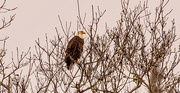 14th Feb 2021 - Bald Eagle in the Distance!