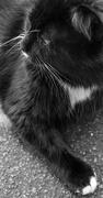 13th Feb 2021 - Black and White Cat