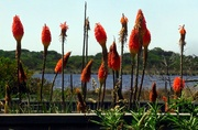 9th Feb 2021 - Red Hot Pokers