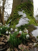 14th Feb 2021 - Snowdrops