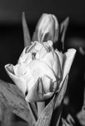 12th Feb 2021 - Tulip