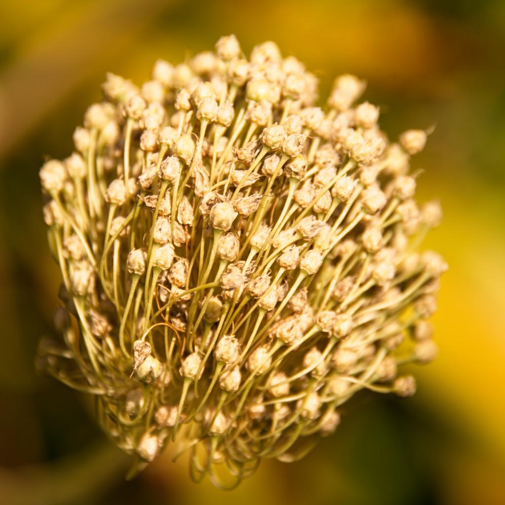 Seed head  by fr1da