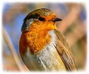 15th Feb 2021 - Robin (filler)