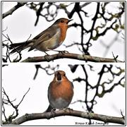 15th Feb 2021 - Singing robin