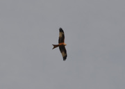 15th Feb 2021 - Red Kite