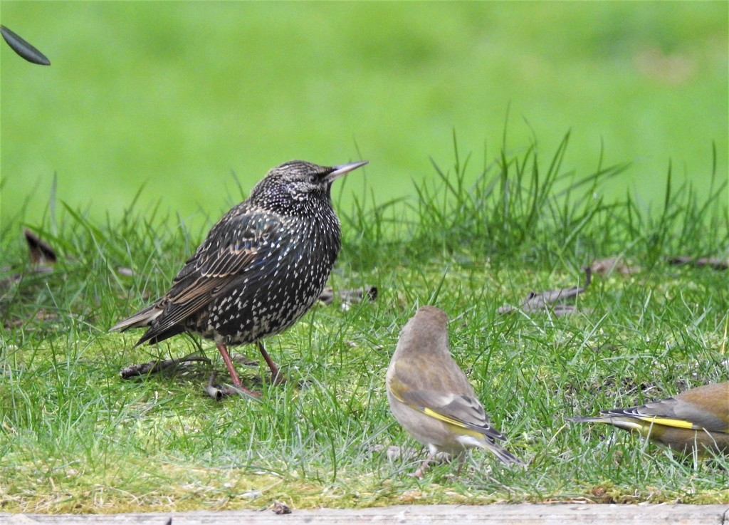 Starling in the Garden  by susiemc