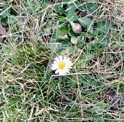 15th Feb 2021 - First Daisy