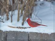 15th Feb 2021 - Northern Cardinal Male