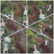 15th Feb 2021 - Squirrel on the prowl