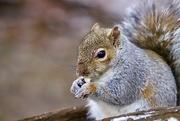 15th Feb 2021 - Well Fed Squirrel