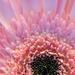 Pink Burst by sunnygirl