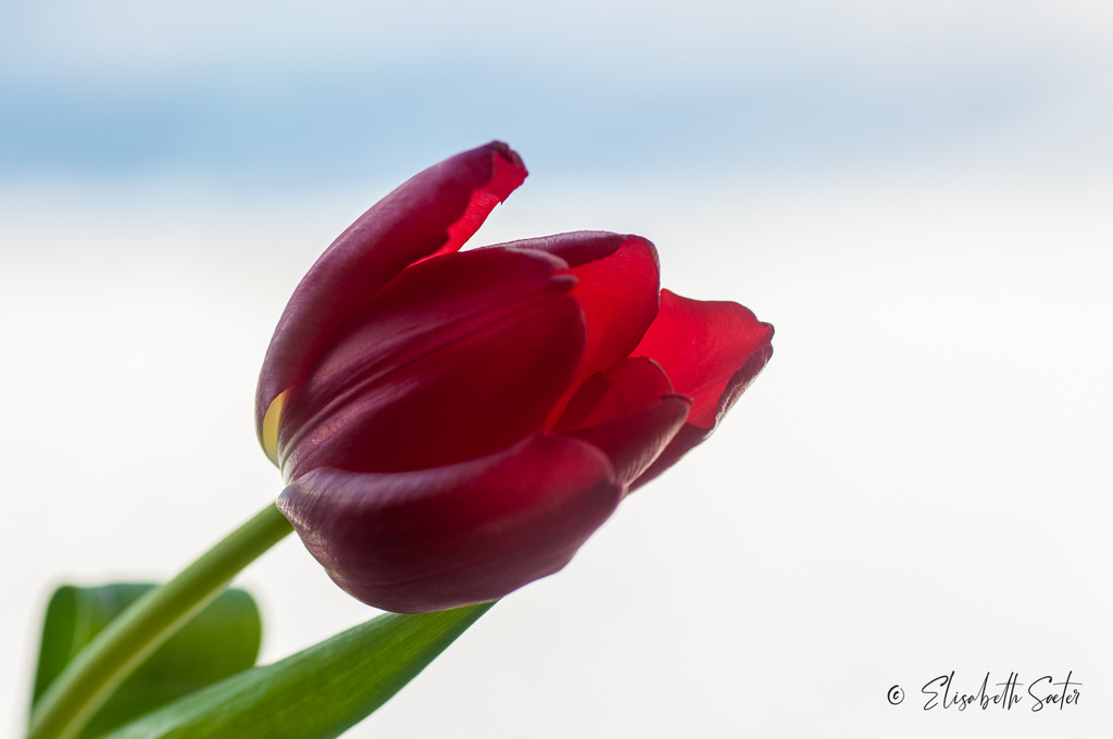 Red tulip by elisasaeter