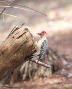15th Feb 2021 - Red-bellied woodpecker