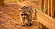 15th Feb 2021 - One of the Younger Raccoons!