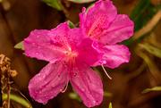 15th Feb 2021 - Azalea Flower!